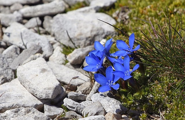Gentiana orbicularis round leaved gentian in Austria