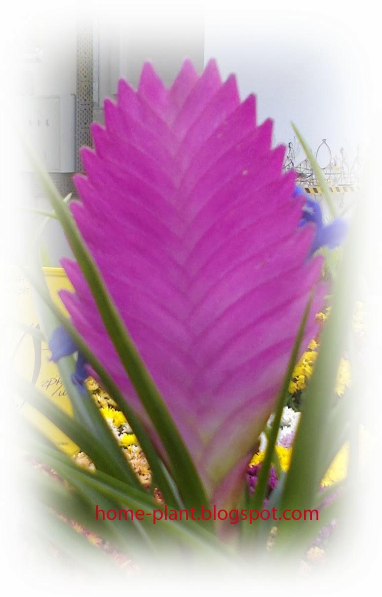 Жар-птица цветок