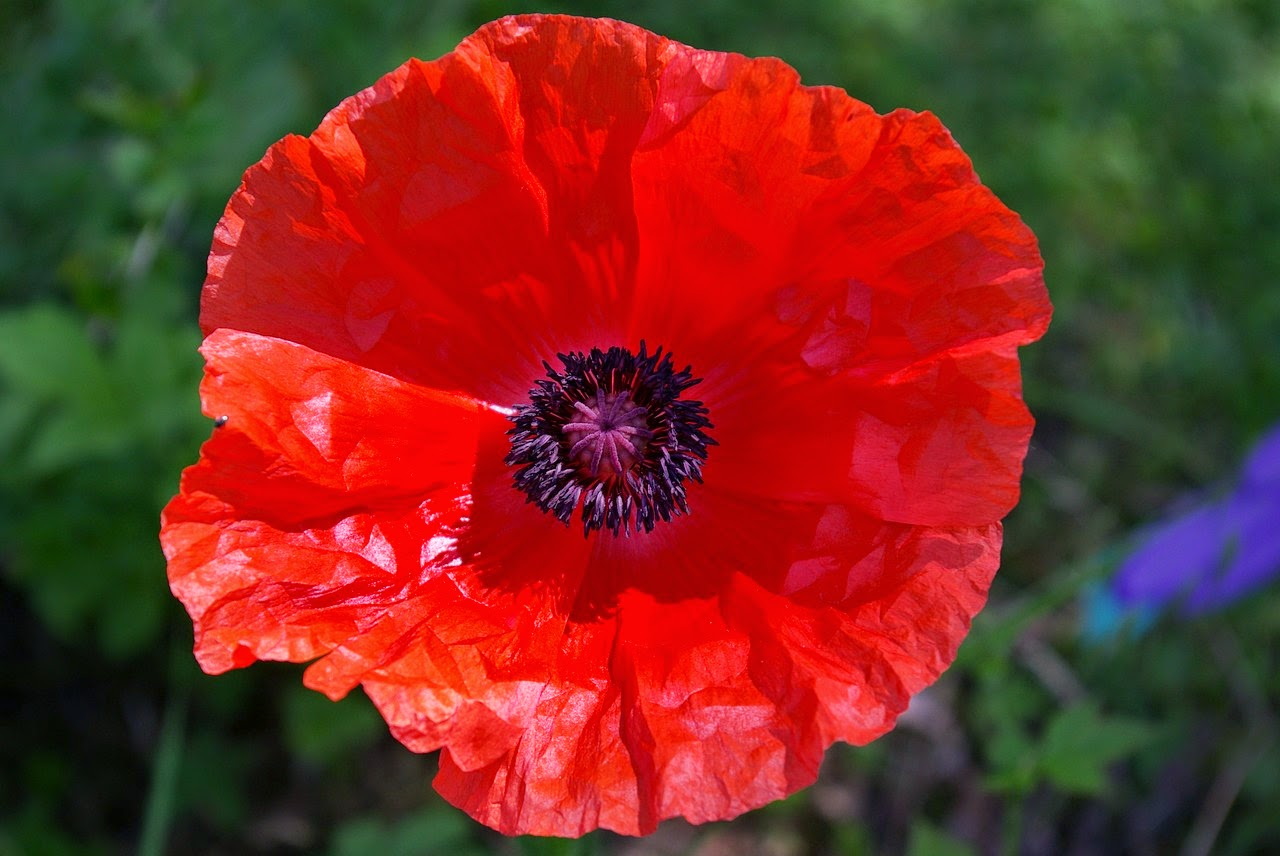 Root Chakra Underactive Red Poppy