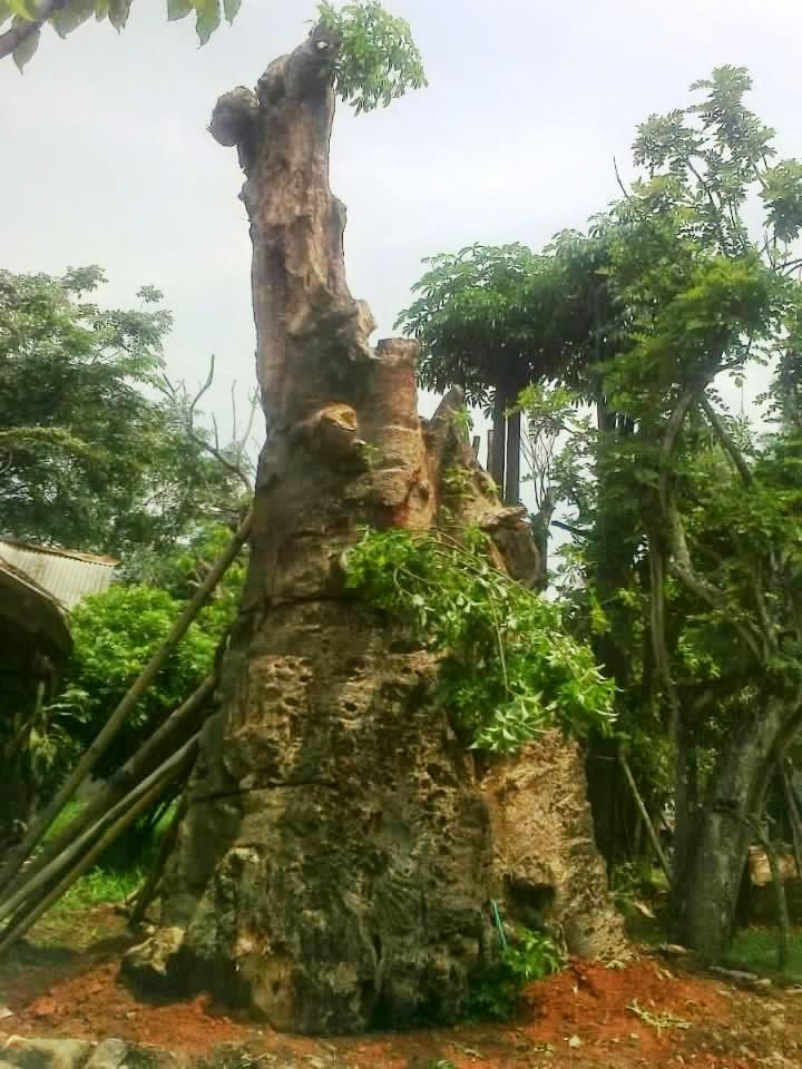 Jual pohon kaki gajah | suplier tanaman | tanaman pelindung | tanaman hias | rumput | jasa pembuatan taman