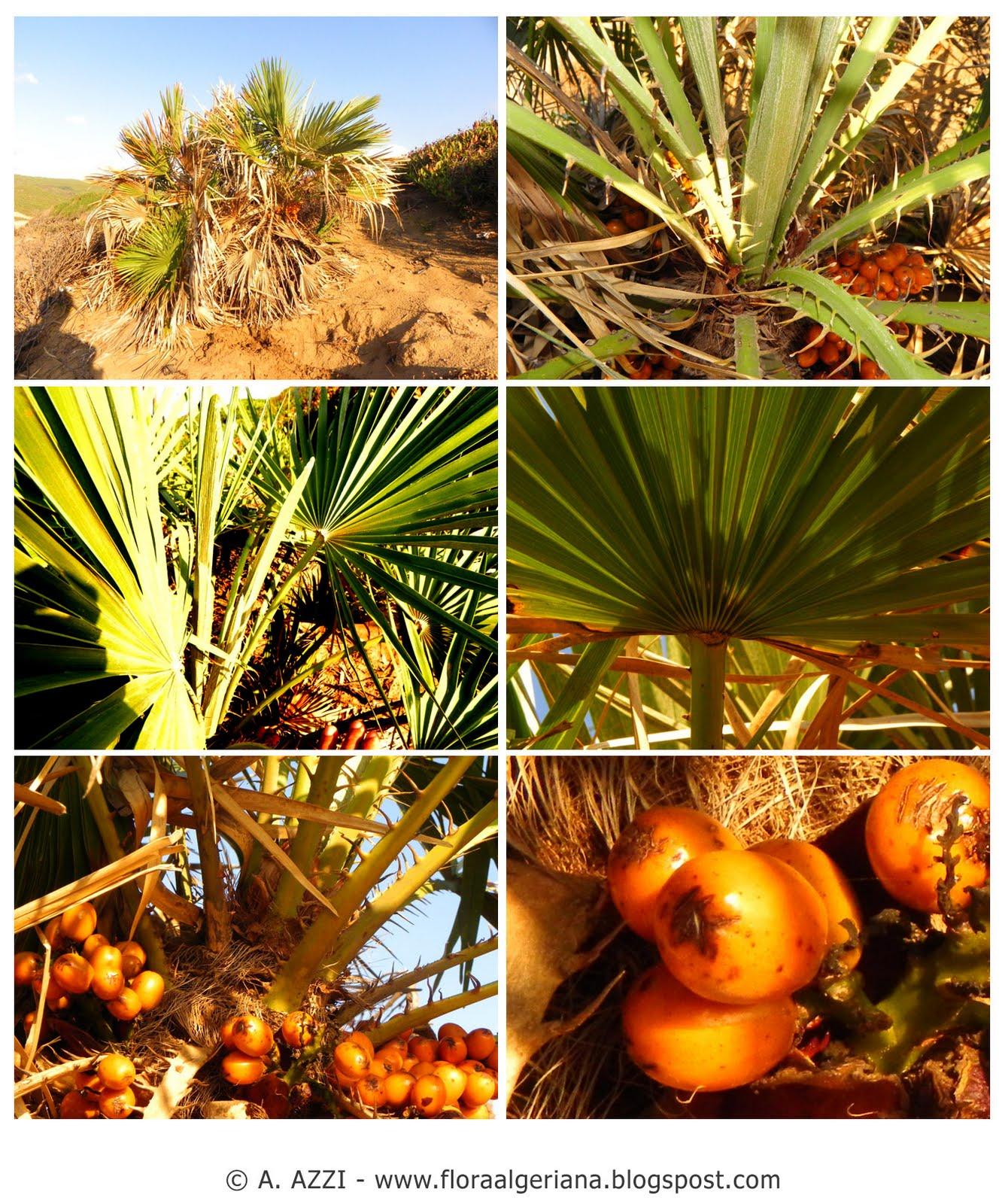 Flora algeriana 00068 20110905 sc chamaerops humilis for Palmier nain exterieur