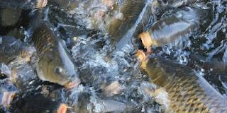 umpan ikan mas di air dingin