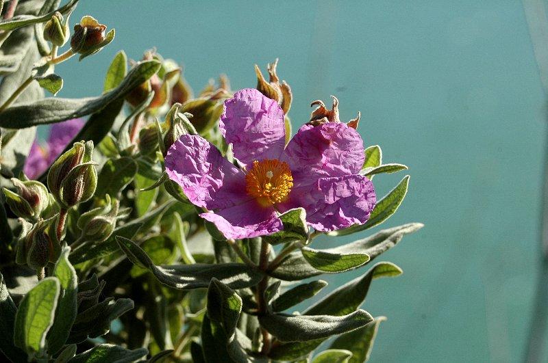 FLORACIONES EN MÁLAGA Y MÁS: Flora de la Axarquía 11