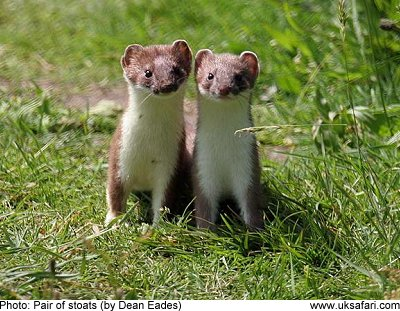 1000  images about Stoat on Pinterest | deviantART, Ferrets and Art