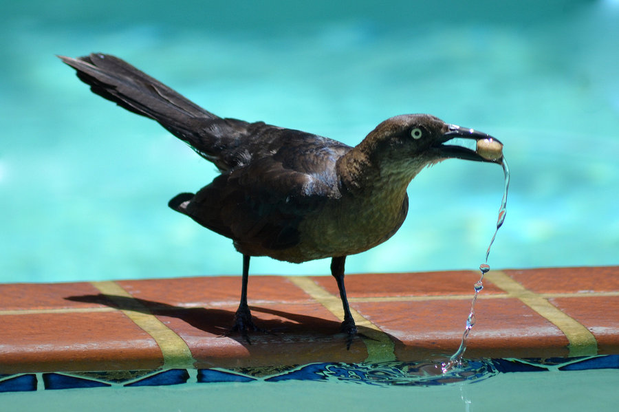 Solve bird problems using humane bird deterrents for pest bird control swimming pool or pool for Duck repellent for swimming pools