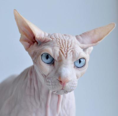 Инопланетяне среди нас кошка. Строгий взгляд кошки. Кошкины глаза.