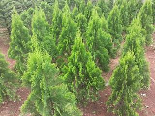 jual pohon cemara kipas