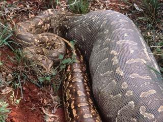 New Anaconda Snake Biggest Anaconda Snake Real Anaconda Snakes