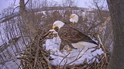 It takes two to raise eaglets.