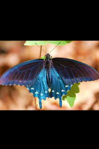 Pipevine Swallowtail from Above