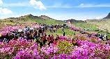 Hapcheon Hwangmaesan Royal Azalea Festival
