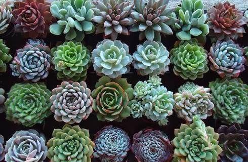 Giardino dei sogni le succulente piante da riscoprire for Piante grasse succulente