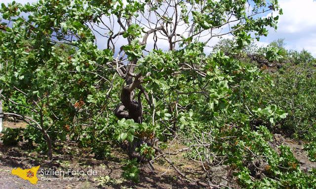 Pistazienbaum im Lavafeld bei Bronte