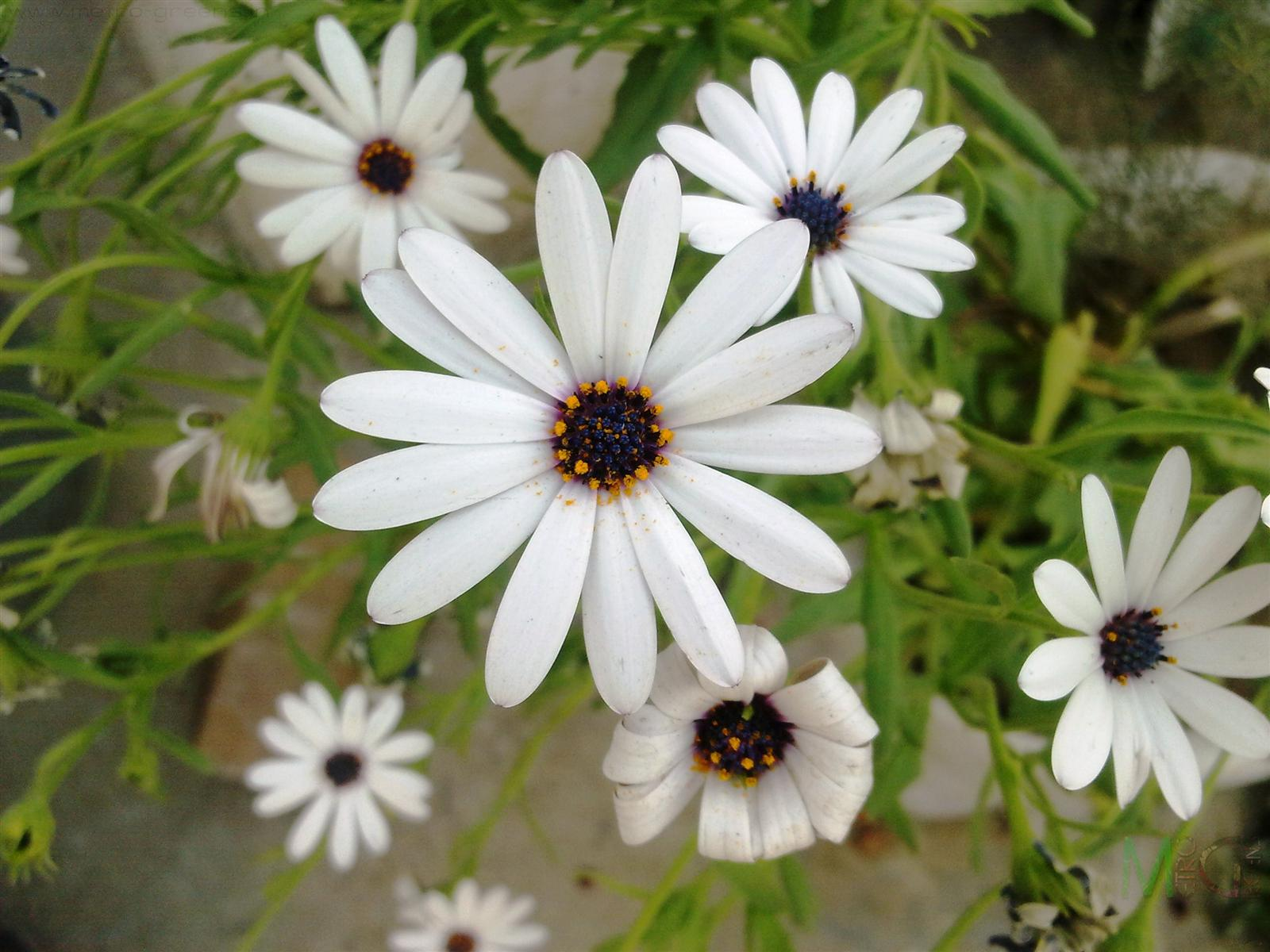 Metro Greens: White African Daisies