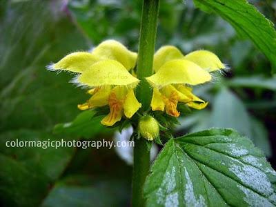Variegated Yellow Archangel-Lamiastrum close-up