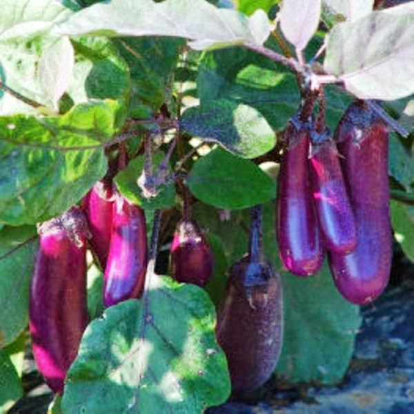 El jardin de judith berenjena para el cancer de piel for Trata catarro 7 remedios caseros curar catarro comun