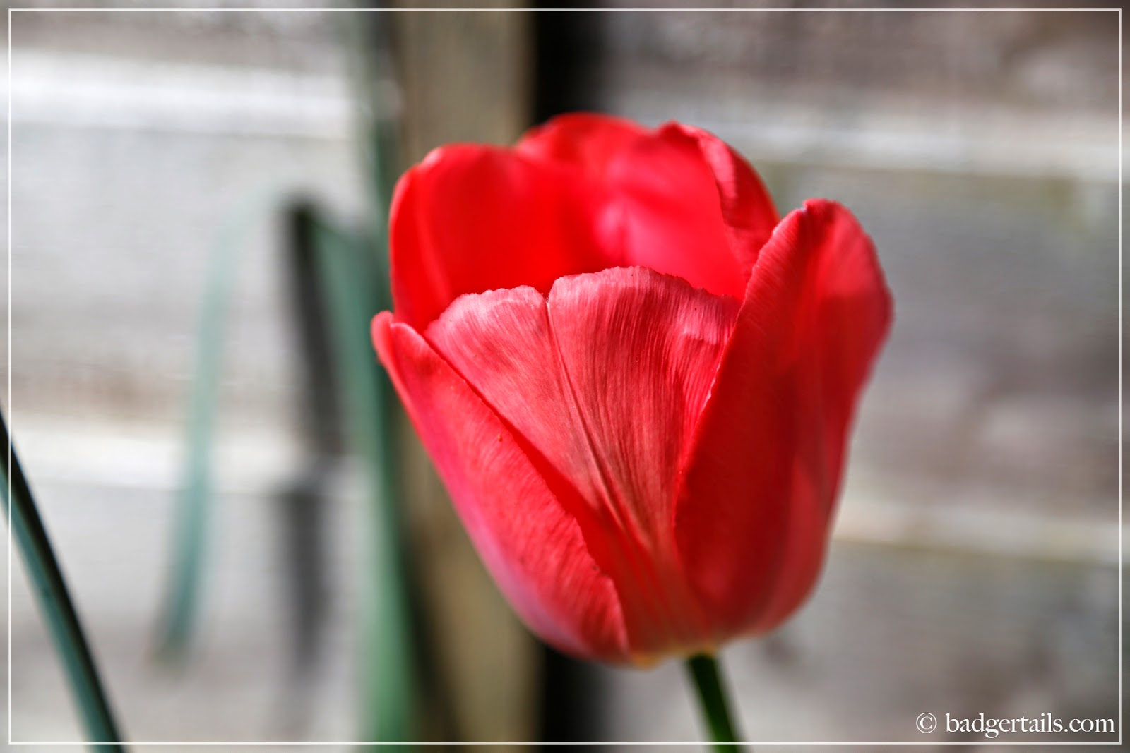 ©Badgertails.com Single Red Tulip