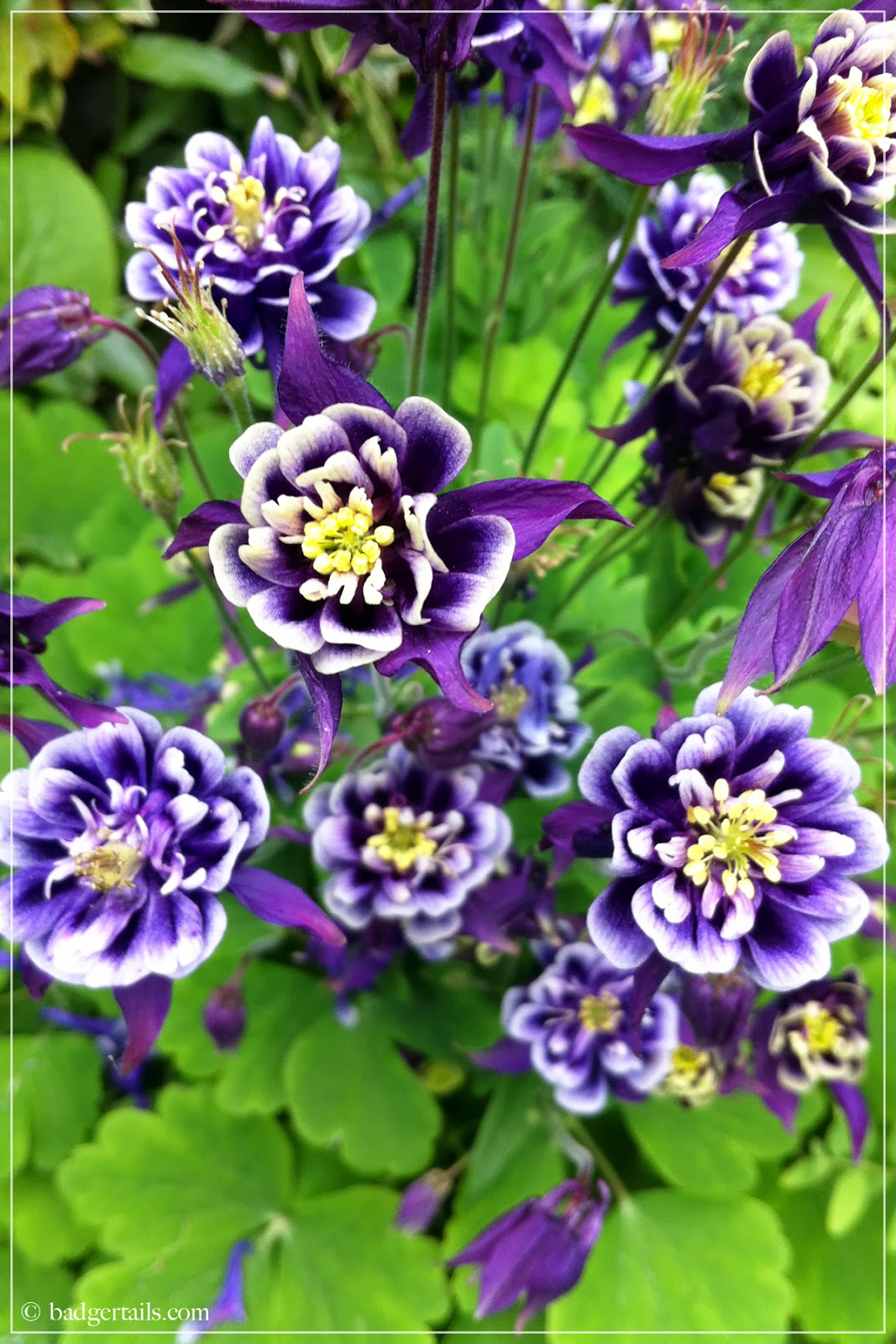 granny bonnet aquilegia in summer