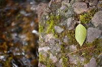 Birch leaf on rock ledge covered with green moss