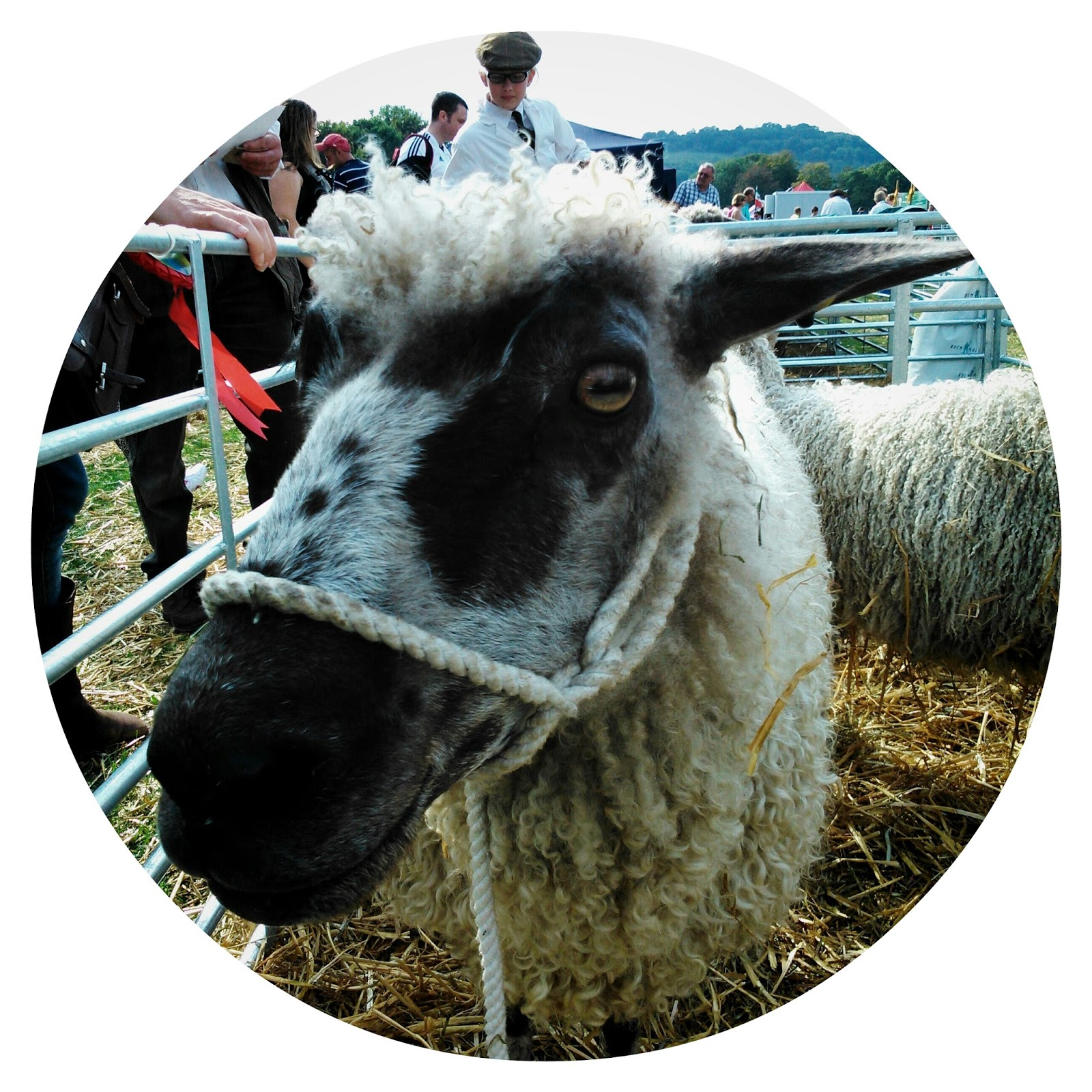 Findon Sheep Fair starlet