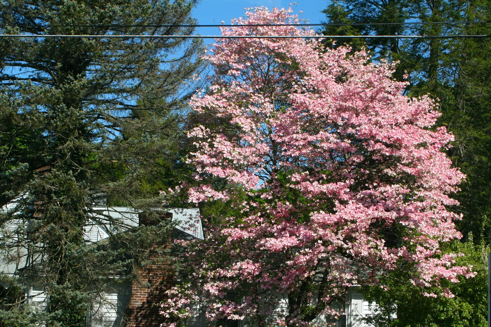 Reeds Garden Ramblings Flowering Dogwoods Are Beautiful And