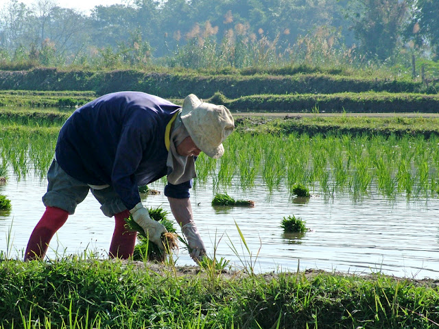 MuNaMi= a GIANT disaster.: Wet Rice Cultivation