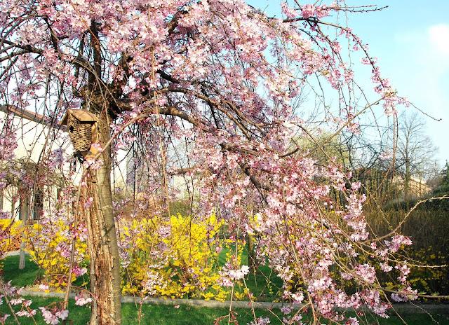Il mondo in un giardino il mio ciliegio giapponese da fiore - Ciliegio da giardino ...