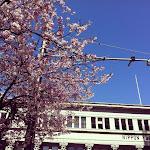 横浜日本郵船前の桜
