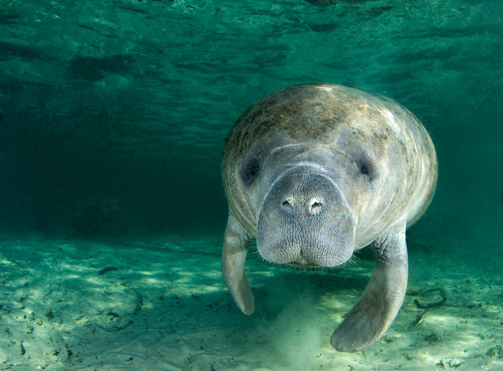 2 blocks from our shop you can see the Manatee in Spring Bayou on cooler days!