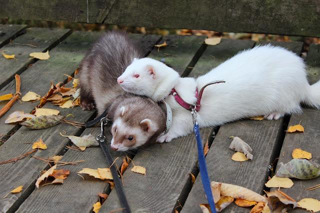 fretin hinta kustannukset ferret price money lemmikki raha