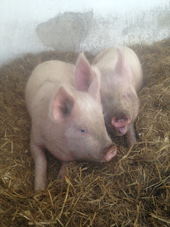 Rasher and Sausage, two rare breed Middle White pigs