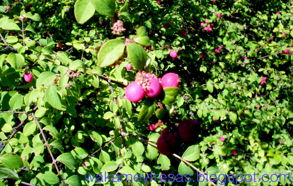 Arbusto de Pernetia