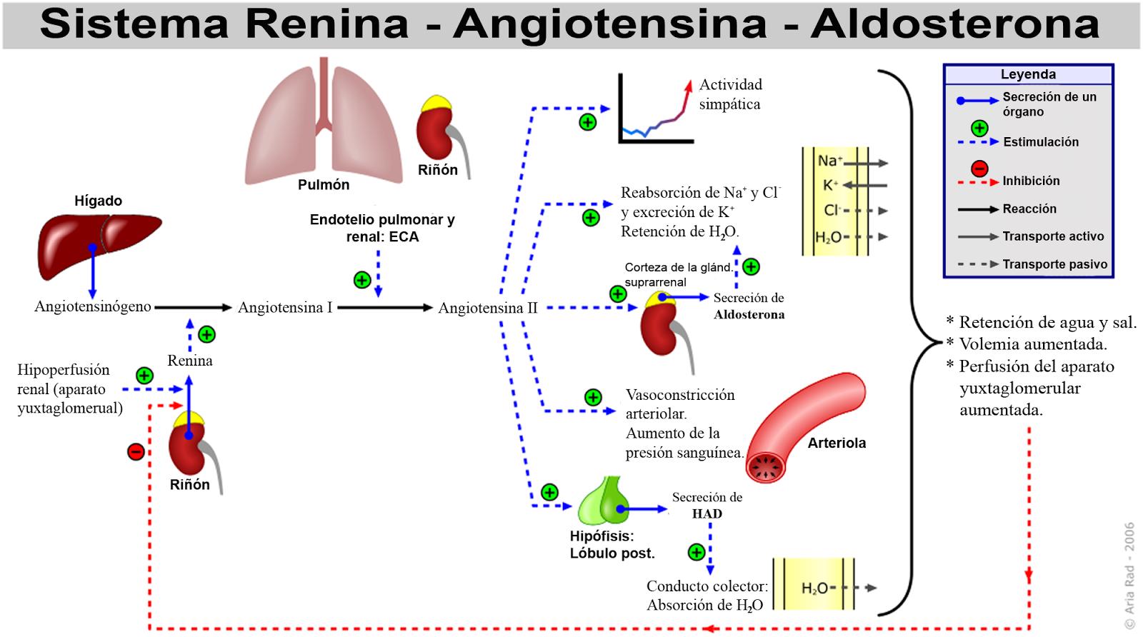 Sistema renina angiotensina (sra)