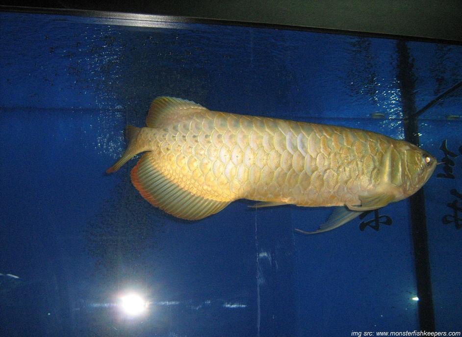 Cara Memelihara Ikan Arwana: Cara Pengobatan dan Jenis ...