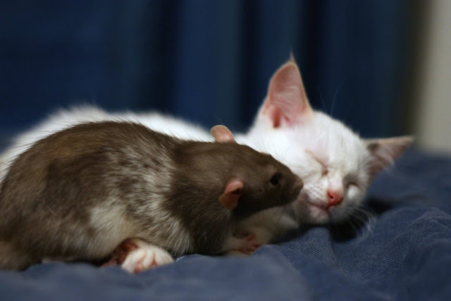 Kitten and rat are best friends, interspecies friends, rat and kitten, rat, kitten
