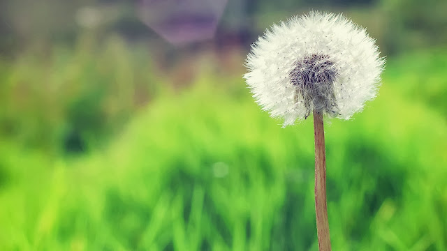countryside dandelion wallpapers hd