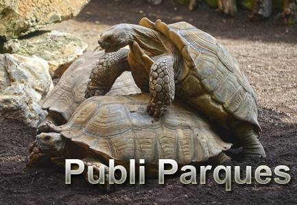 Tortugas espoloneras - comportamiento sexual y rituales de apareamiento - BIOPARC Valencia