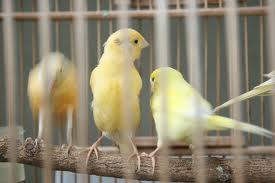 Langkah-langkah usaha penangkaran burung kenari