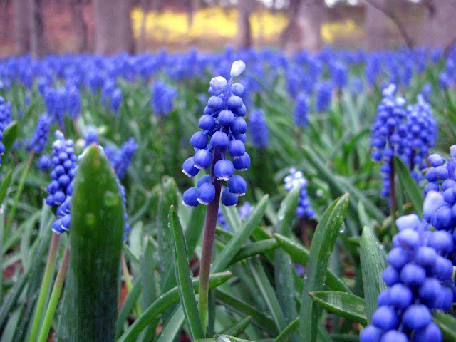 Muscari-on-Long-Island