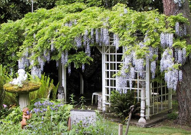 The sunday gardener the war on wisteria for The wisteria