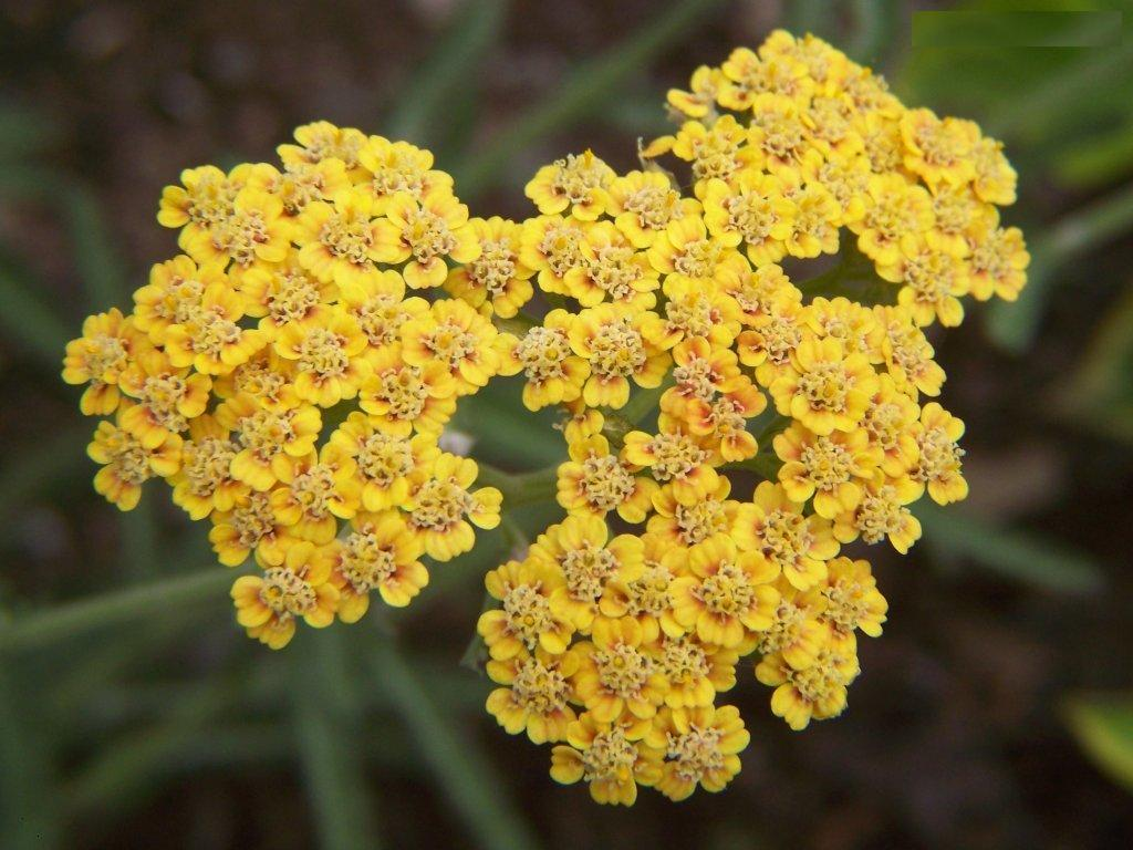 Yellow Yarrow FlowerYellow Yarrow Flower
