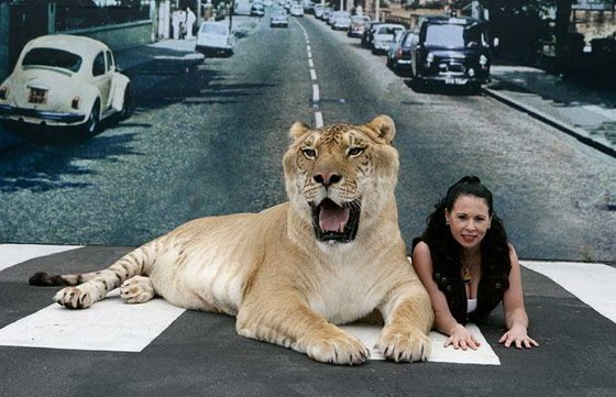largest wild cat - photo #3