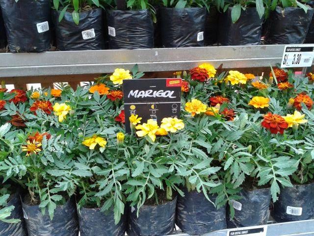 Cultivodeplantasenperu plantas ornamentales en maestro for 2 plantas ornamentales