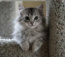 Kit-Ivorykit-She-cat