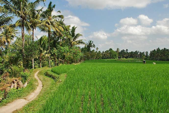 Sendero y campo de arroz