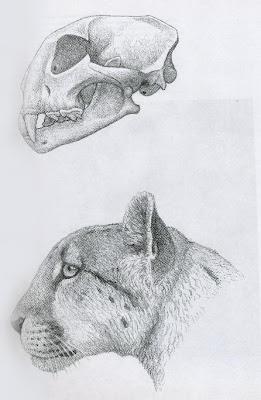 Miarcinonyx skull