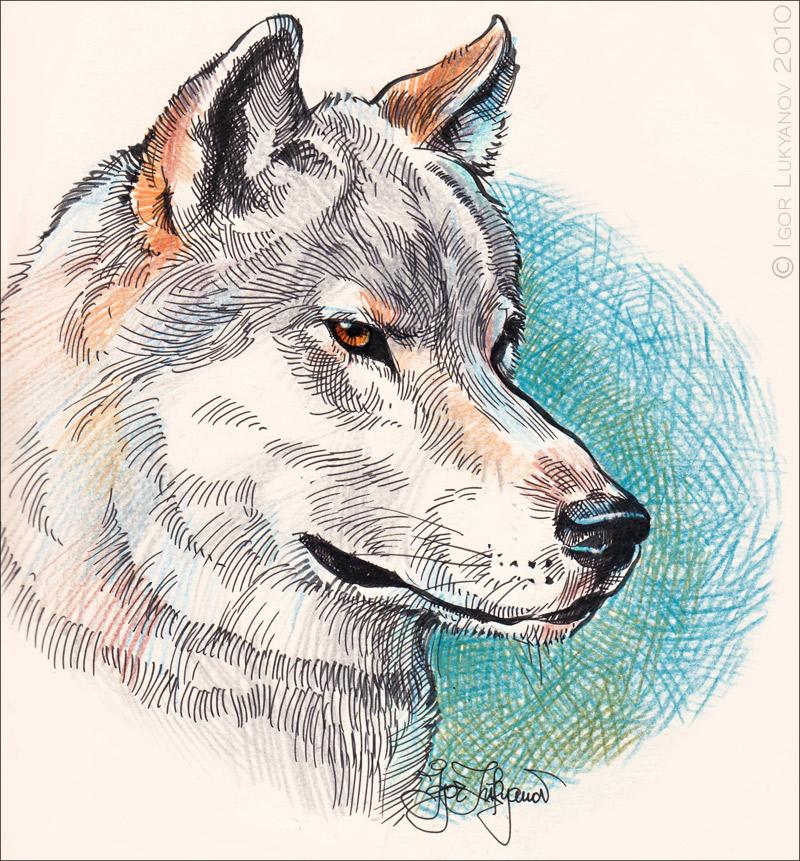 Dessins d 39 un renard et d 39 un loup - Un loup dessin ...