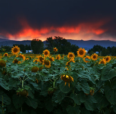 Amanecer en el campo de girasoles - Sunflowers sunset