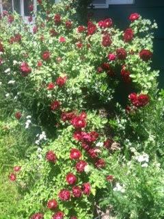 Rose Bush 06-07-13
