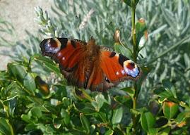 Dag lieve dagpauwoog...fijn dat je onze metgezel in de tuin was dit weekend !